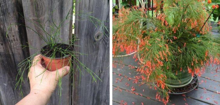 Размножение и выращивание русселии