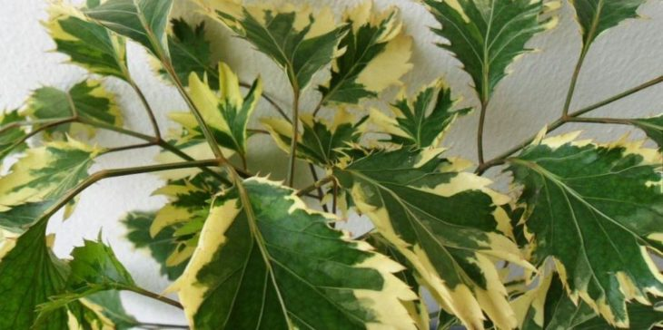 Полисциас с вариегатной листвой