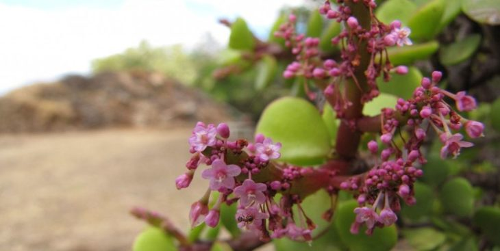 Цветение портулакарии