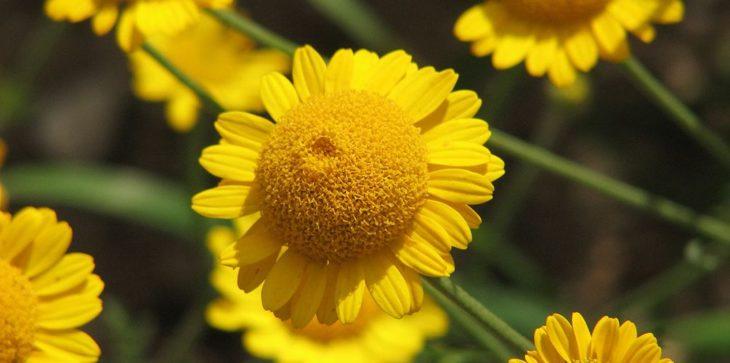 Цветок пупавка