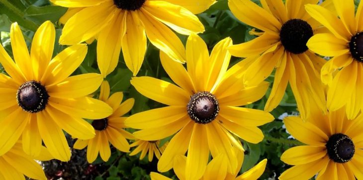 Многолетний цветок рудбекия