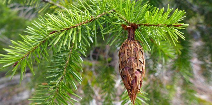 Хвойное дерево Псевдотсуга