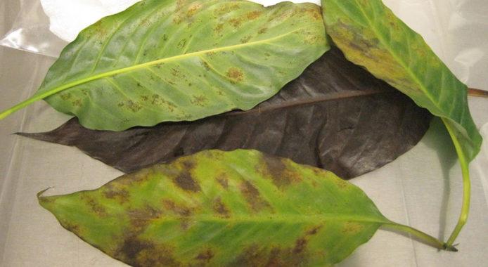 Цветок спатифиллум - болезни