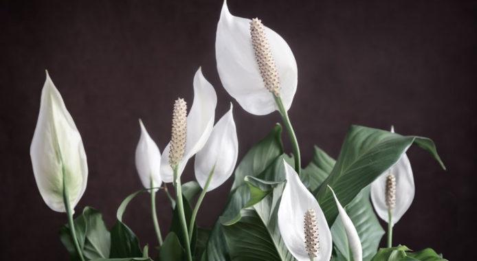 Цветок спатифиллум - мистические свойства