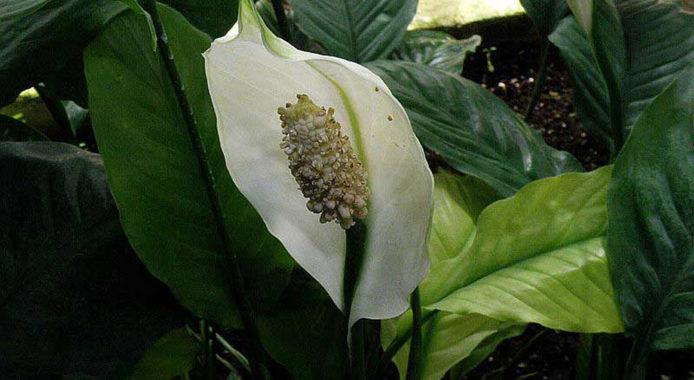 Spathiphyllum floribundun