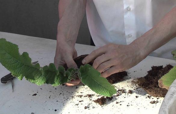 Стрептокарпус - размножение делением куста