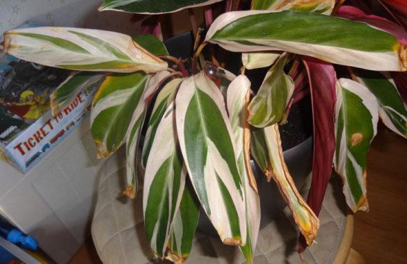Строманта - пожелтевшие листья