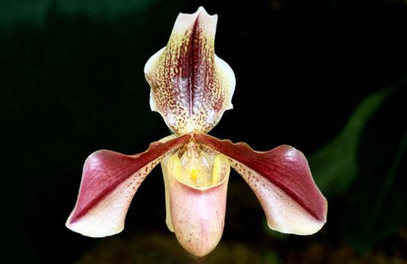 Фрагмипедиум - цветок