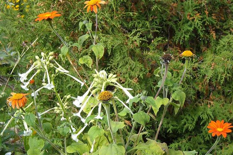 Семена титонии
