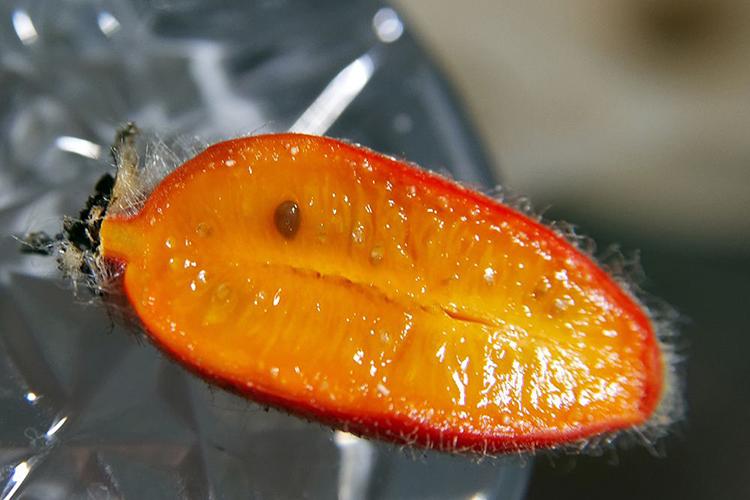 Тладианта - плоды в разрезе