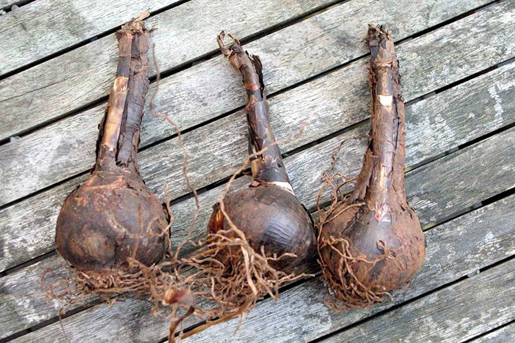 Спрекелия  - хранение луковиц