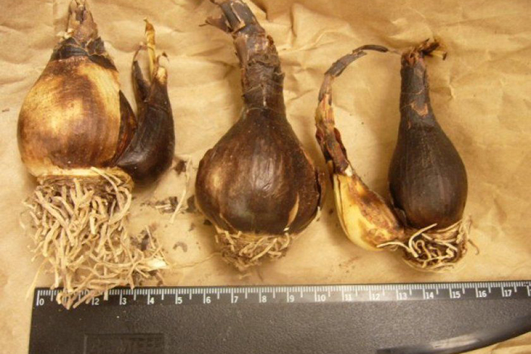 Спрекелия - луковицы
