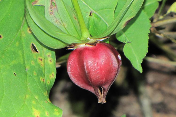 Триллиум - плоды
