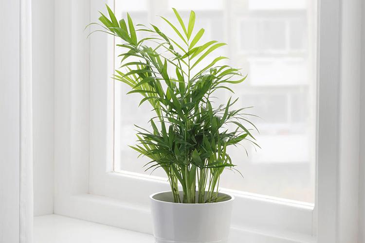 Условия для выращивания  хамедореи