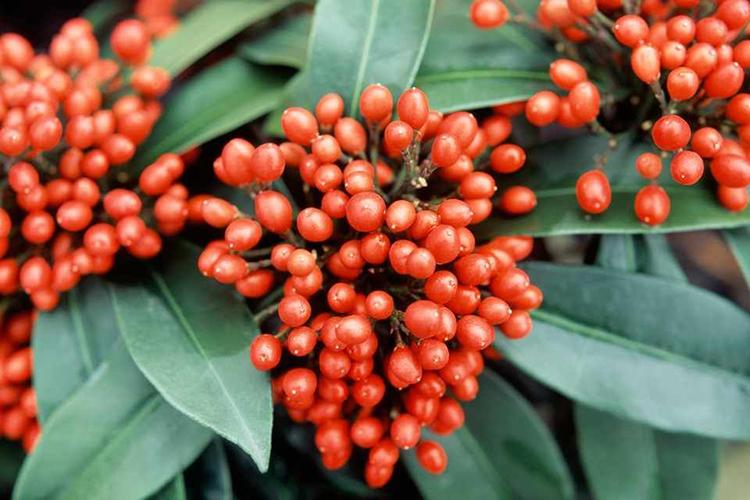 Скиммия - ягоды