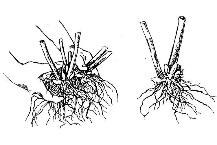 Смилацина - размножение