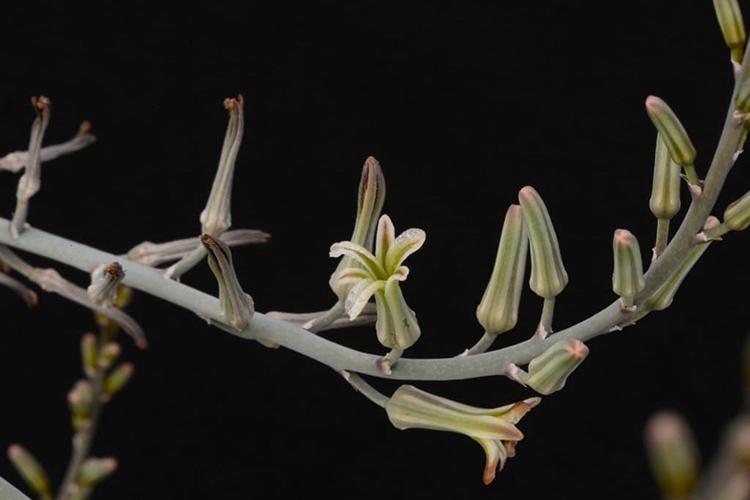 Хавортия цветет