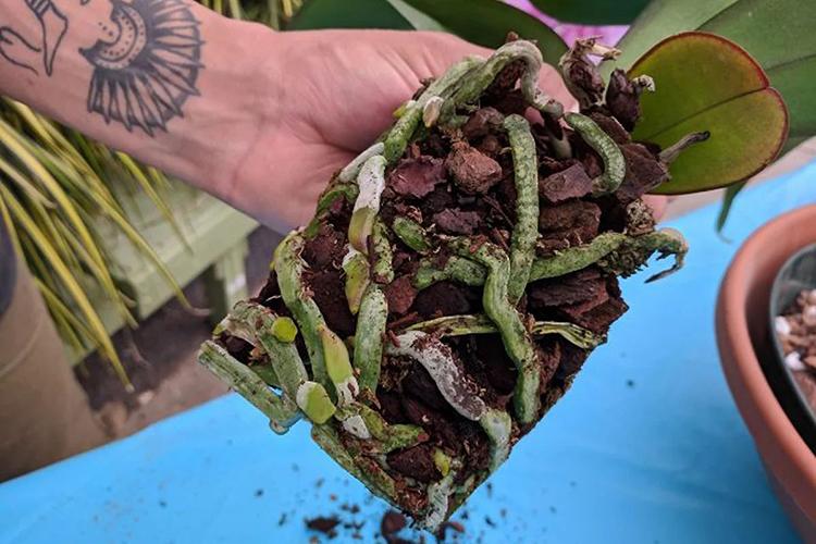 Орхидея фаленопсис - состояние корня