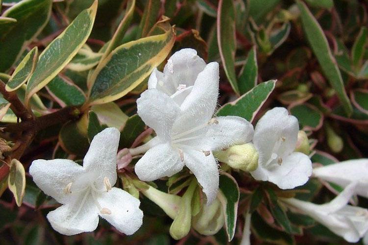Abelia variegate