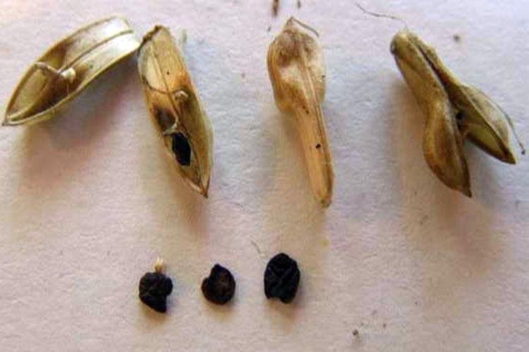 Семена белопероне