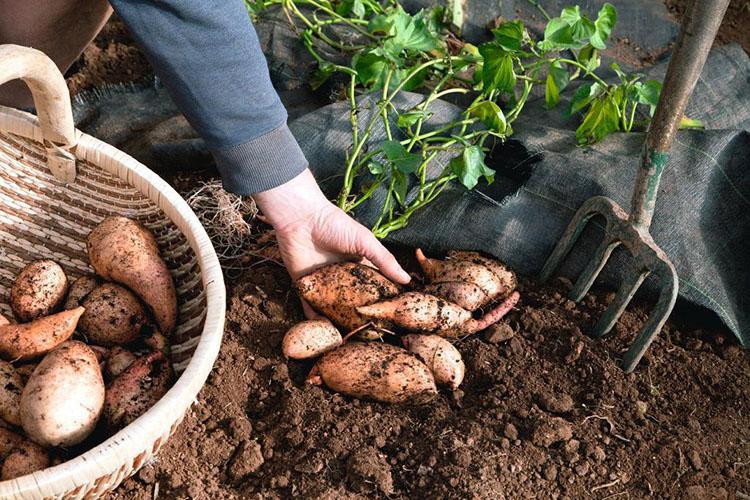 Сбор урожая батата