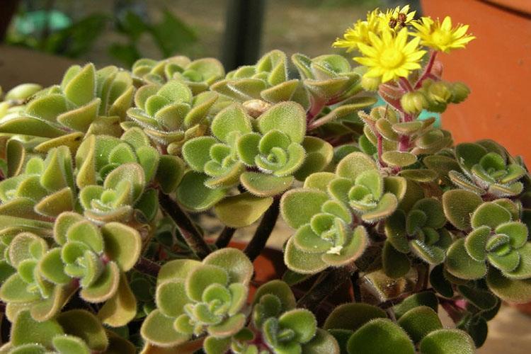Крона растения аихризон