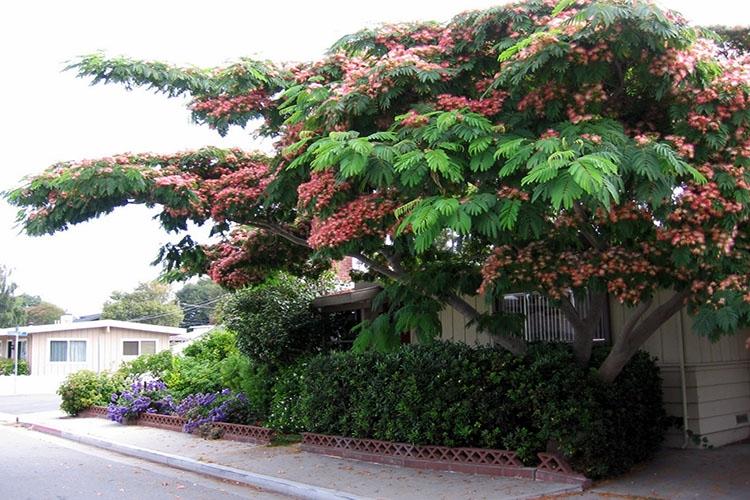 Дерево альбиция