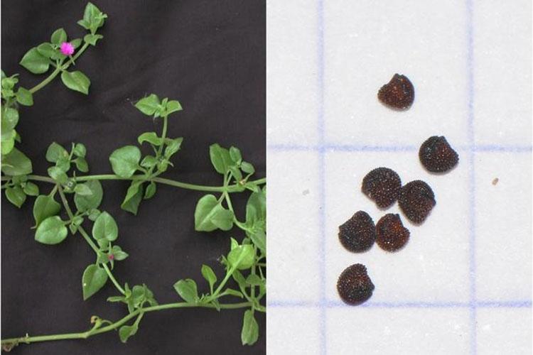 Черенки и семена аптении