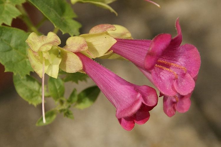 Розовые цветы азарины