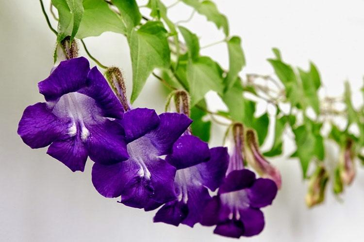 Цветы азарины