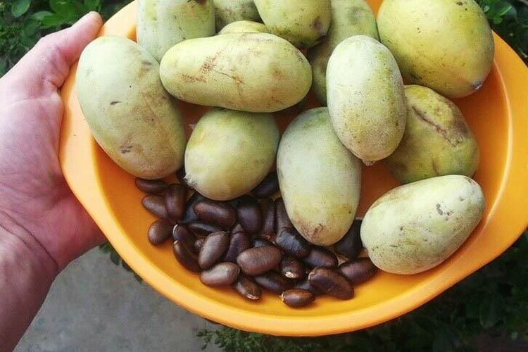 Плоды и семена азимины