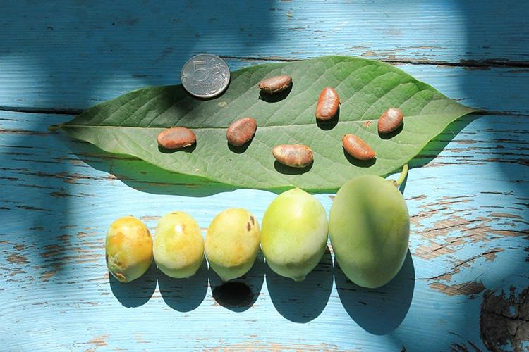 Плоды, семена и лист азимины