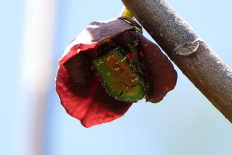 Жук на цветке азимины