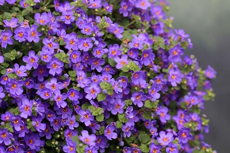 Фиолетовая цветущая бакопа
