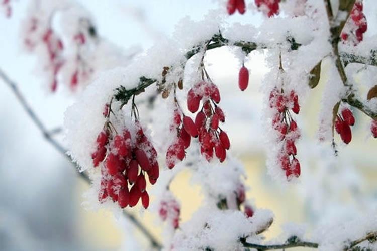 Барбарис под снегом