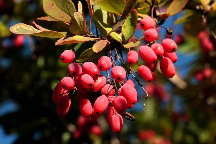 Плодовый барбарис