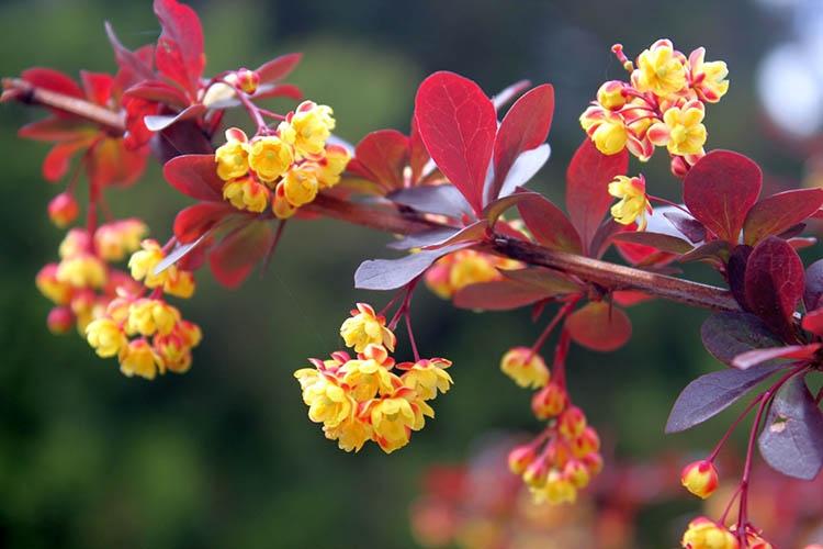 Цветы барбариса