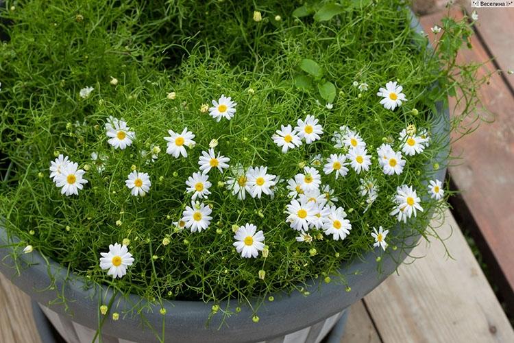 Белые цветы брахикомы