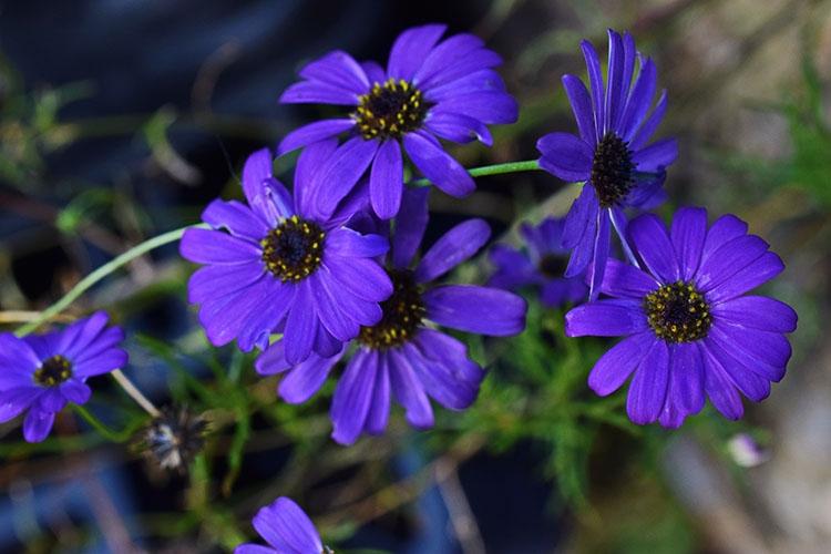 Фиолетовый цветок брахикомы