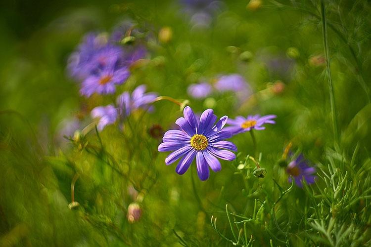 Цветок брахикомы