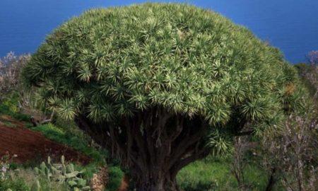 Драцена дерево