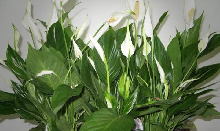 Мучнистый червец на комнатных растениях. Фото, как бороться 16