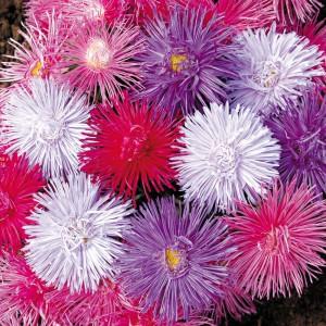 астры цветы