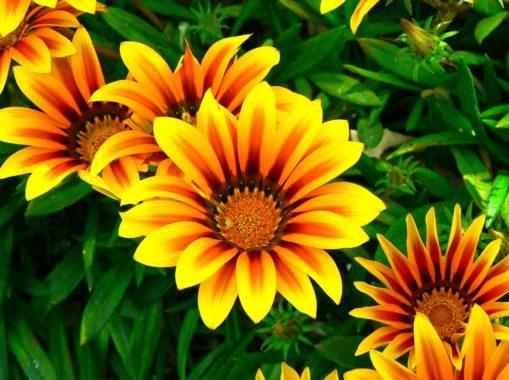 гарциния цветок уход