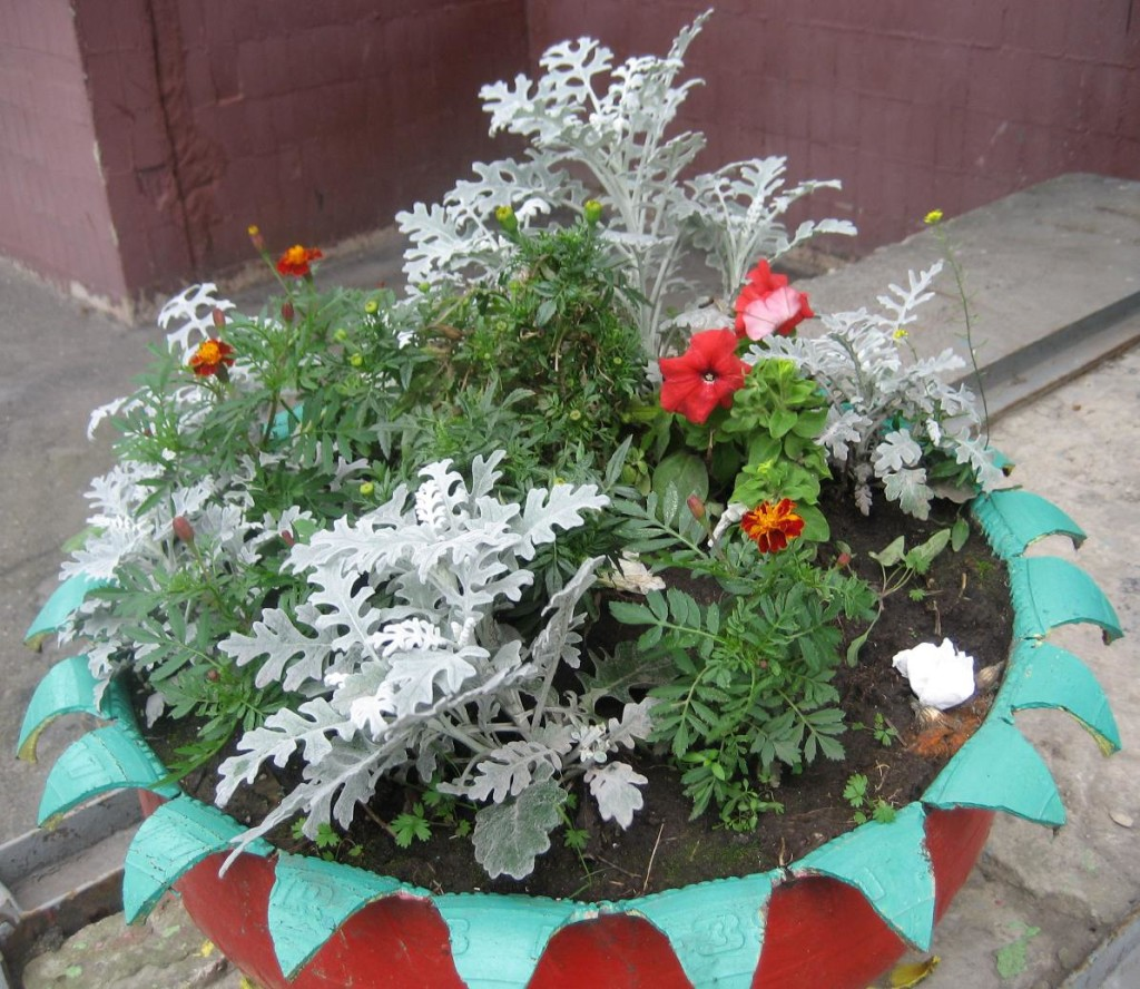 Цинерария серебристая выращивание из семян фото