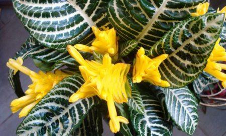Вечнозеленое растение афеляндра