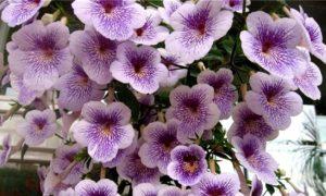 Комнатный цветок ахименес