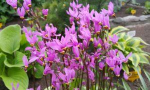 Растение дряквенник