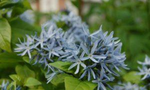 Травянистое растение Амсония