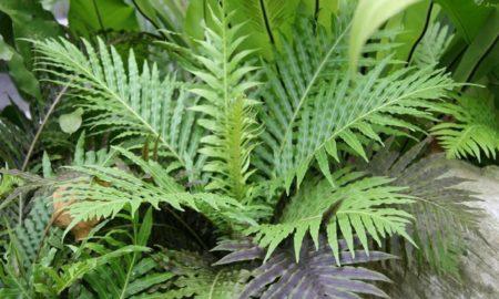 Комнатное растение Блехнум